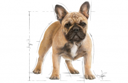 Buldog Francuski French Bulldog