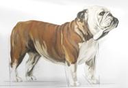 Karma ROYAL CANIN dla Bulldoga