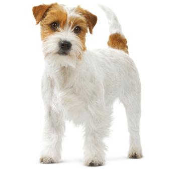 Karma ROYAL CANIN dla Jack Russell Terrier