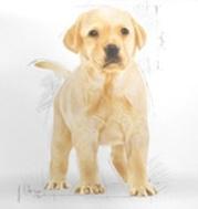 Karma ROYAL CANIN dla Labradora