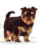 Karma ROYAL CANIN dla YorkShire Terrier